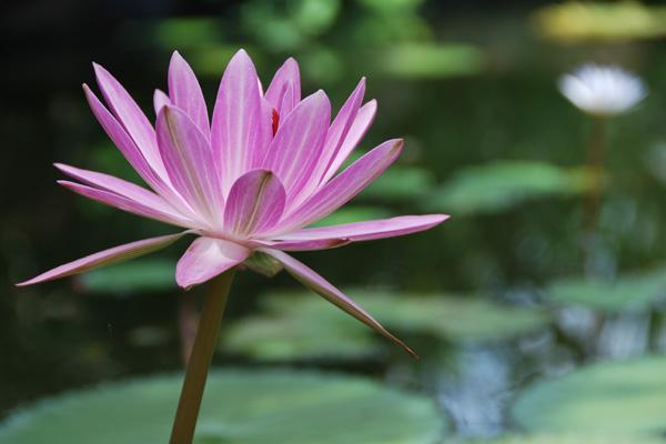 Lotus (Lipa City, Batangas, 2009) ISO 100, f/5.6, 1/160sec